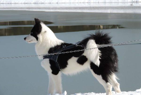 красавая якутская лайка