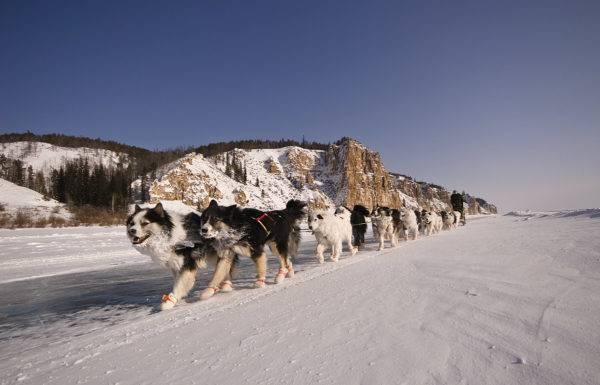 много якутских лаек