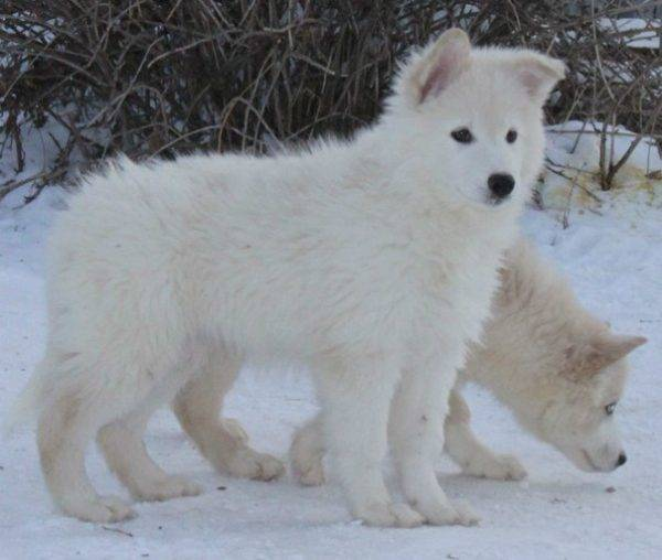 щенки якутской лайки