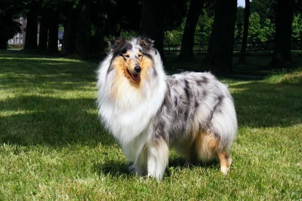 Колли (шотландская овчарка)