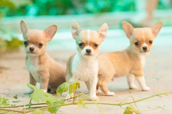 три мини чихуахуа милые