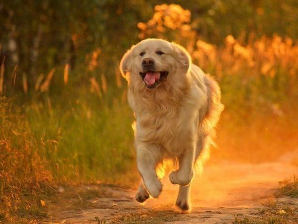 счастливый пес бежит