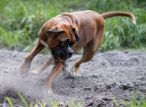 игривая собака