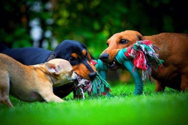 Карликовая такса и другие собачки