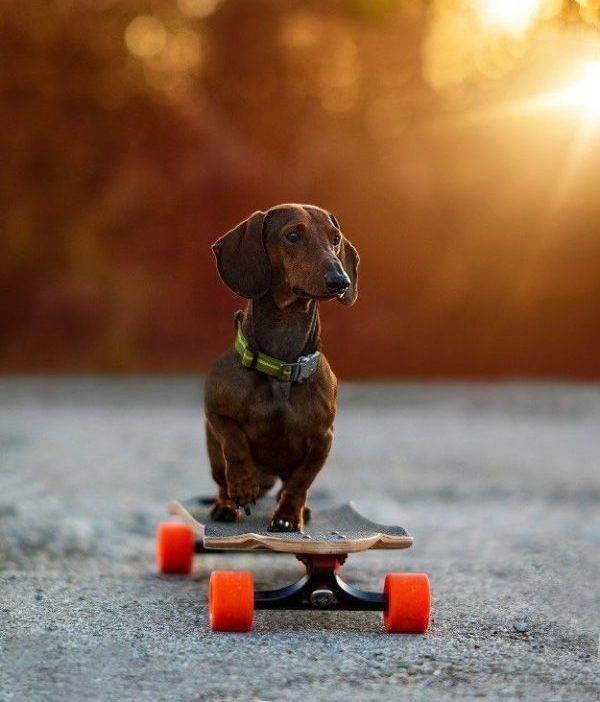 Карликовая такса на скейтборде