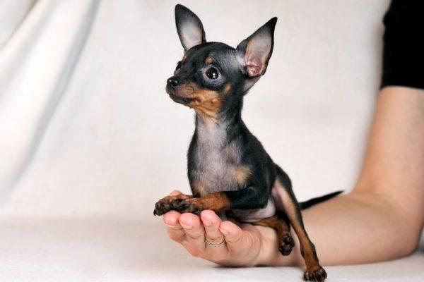 грациозный щенок