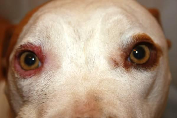 Блефарит у собак