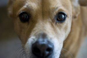 Глаукома у собаки