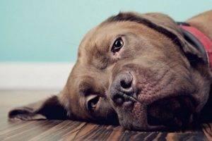Инфаркт у собак