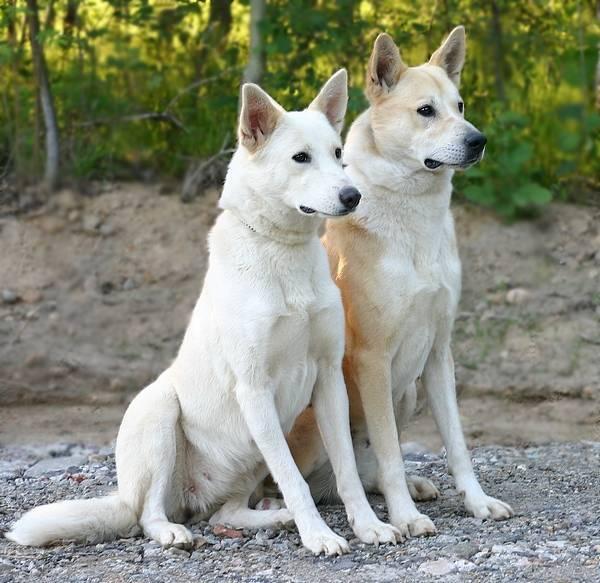 Хаанские собачки