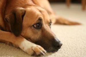 Язва роговицы у собак