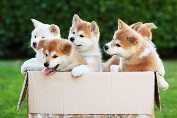 акита-ину щенки