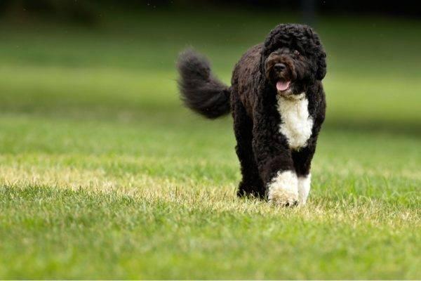 красивая Португальская водяная собака