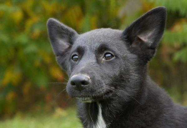 Чёрная Хаанская собака