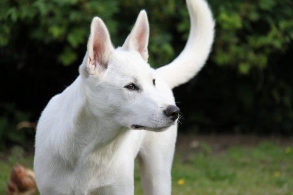 Белая Ханаанская собака