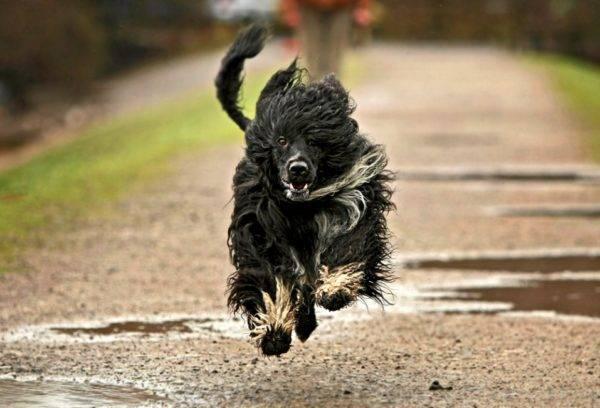 Португальская водяная собака бежит
