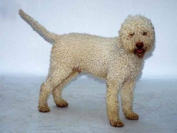 Португальская водяная собака белая