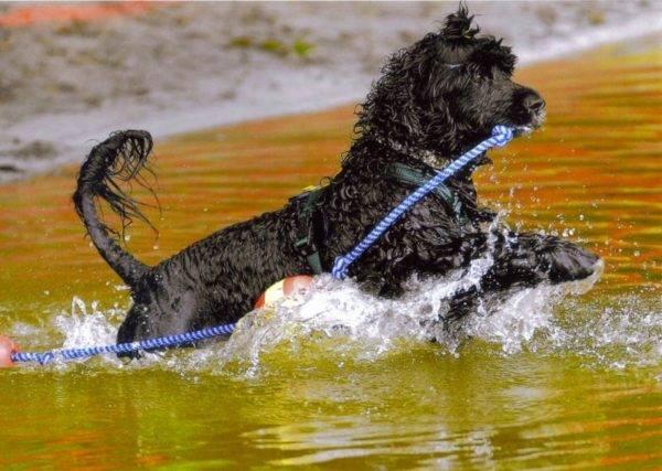 Португальская водяная собака в воде