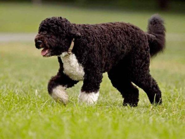 Португальская водяная собака гуляет