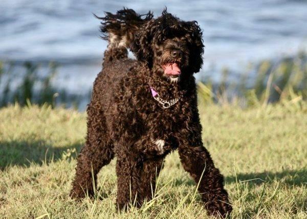 Португальская водяная собака на природе