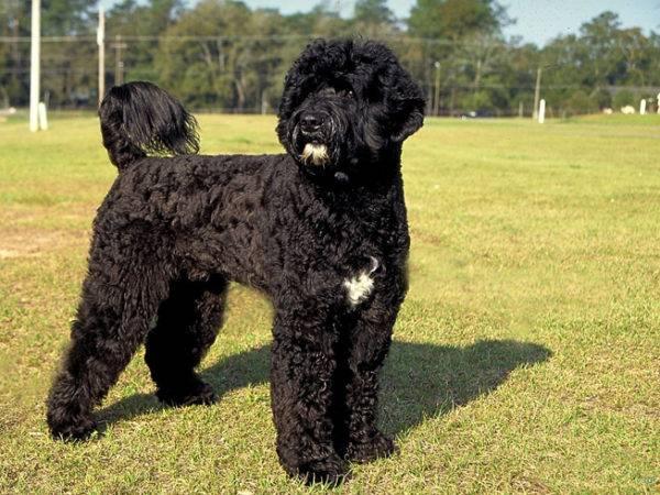 Португальская водяная собака описание
