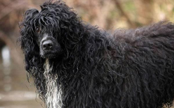 Португальская водяная собака смотрит