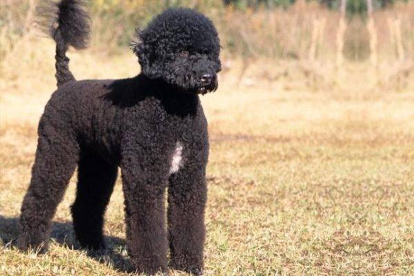 Португальская водяная собака чёрная с белым