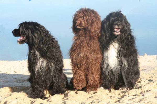 Португальские водяные собаки