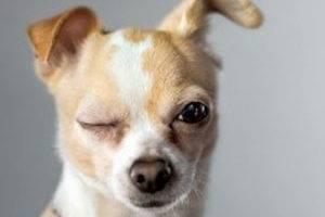 Ожог глаз у собаки