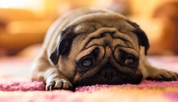 Аллергия на курицу у собак читайте статью