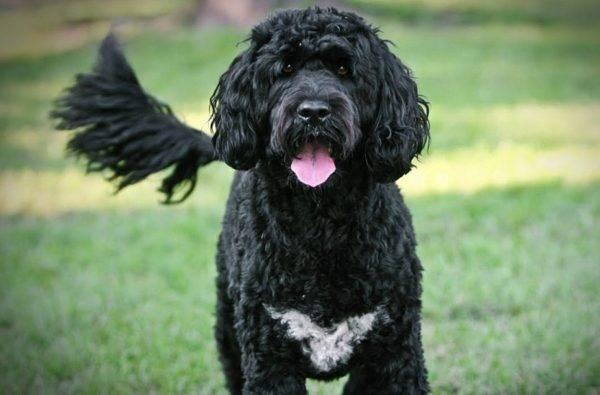 Замечательная португальская водяная собака