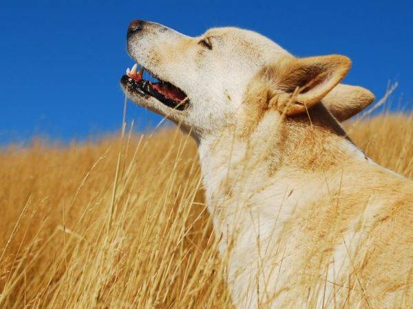 Ханаанская собака красивое фото