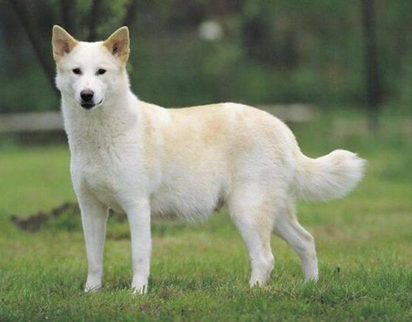 Ханаанская собака на прогулке