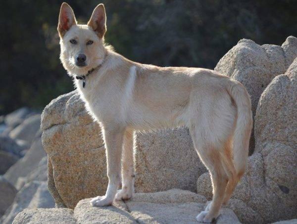 Ханаанская собака описание породы