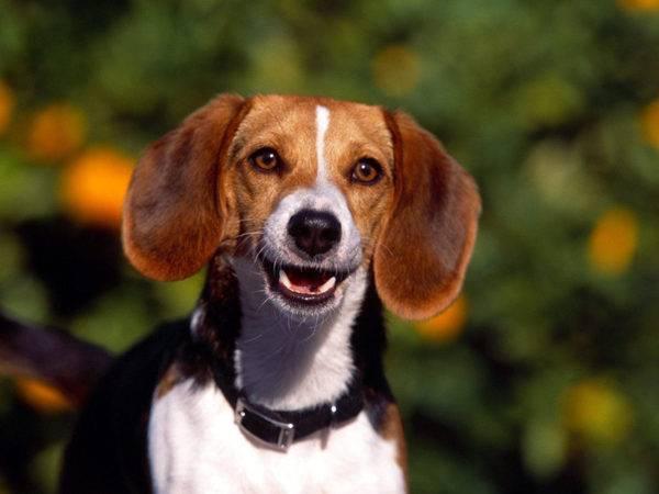 порода собак Харьер