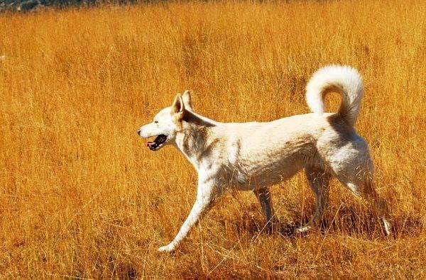Хаанская собачка