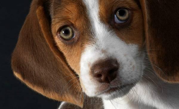 Глаукома причины симптомы лечение у собак thumbnail