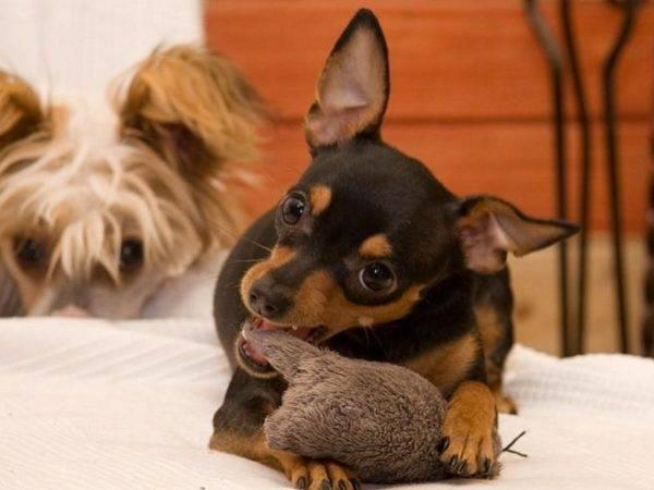 Пражский крысак с игрушкой