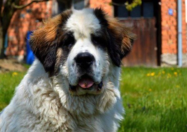 Красивая московская сторожевая собака