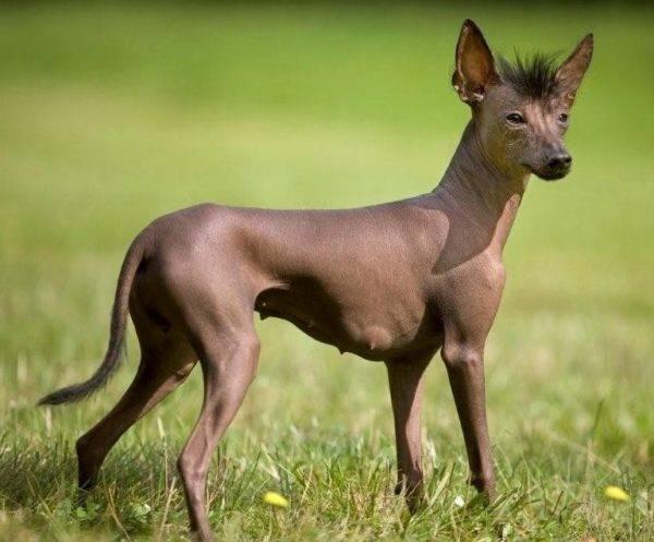 ризеншнауцер цена щенка в москве