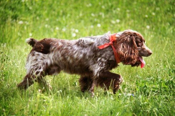 Русский охотничий спаниель в траве