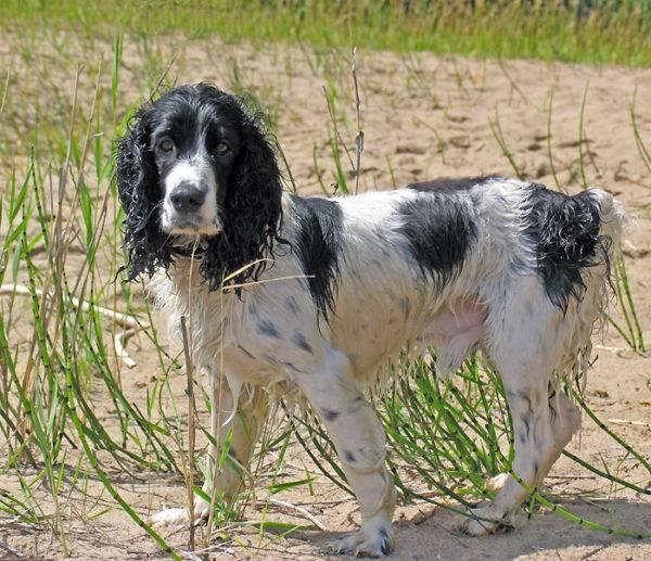 Русский охотничий спаниель: фото собаки, цена, описание породы, характер, видео