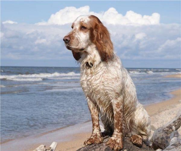 Русский охотничий спаниель на море
