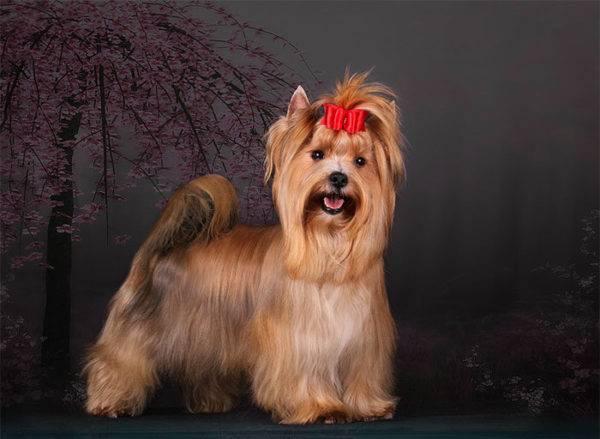 Красивая русская салонная собака