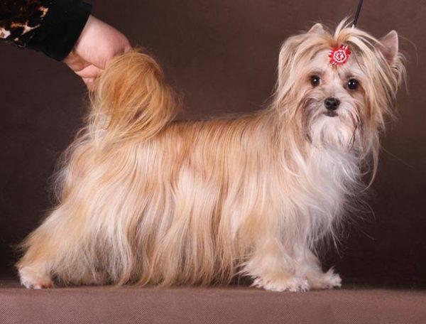 Милая русская салонная собака