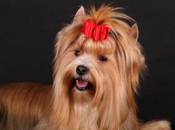 Русская салонная собака красивое фото