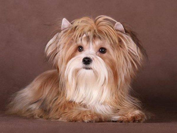 Русская салонная собака лежит