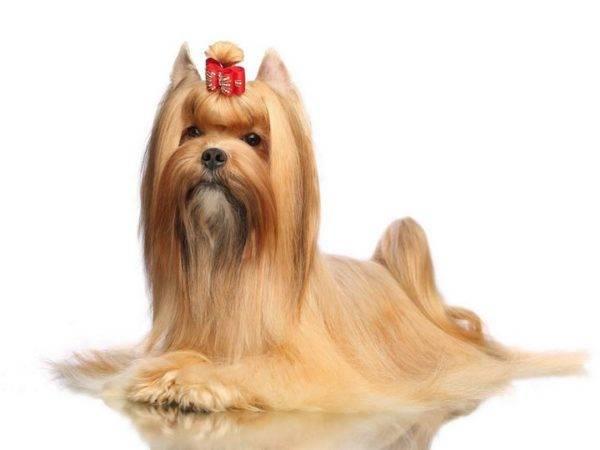 Русская салонная собака на белом фоне