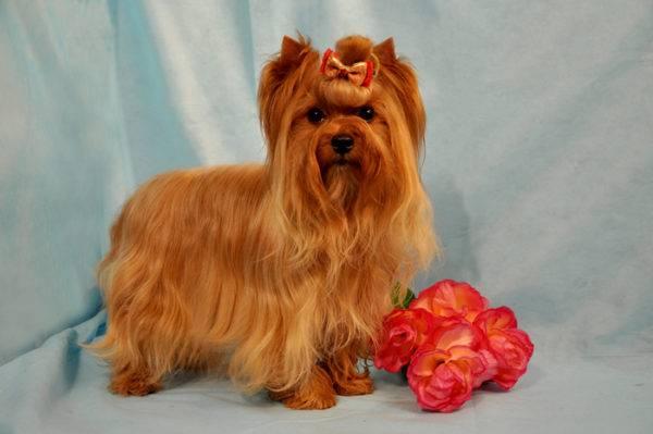 Русская салонная собака с цветами