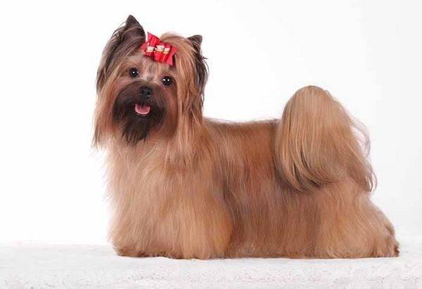 Русская салонная собака читайте статью